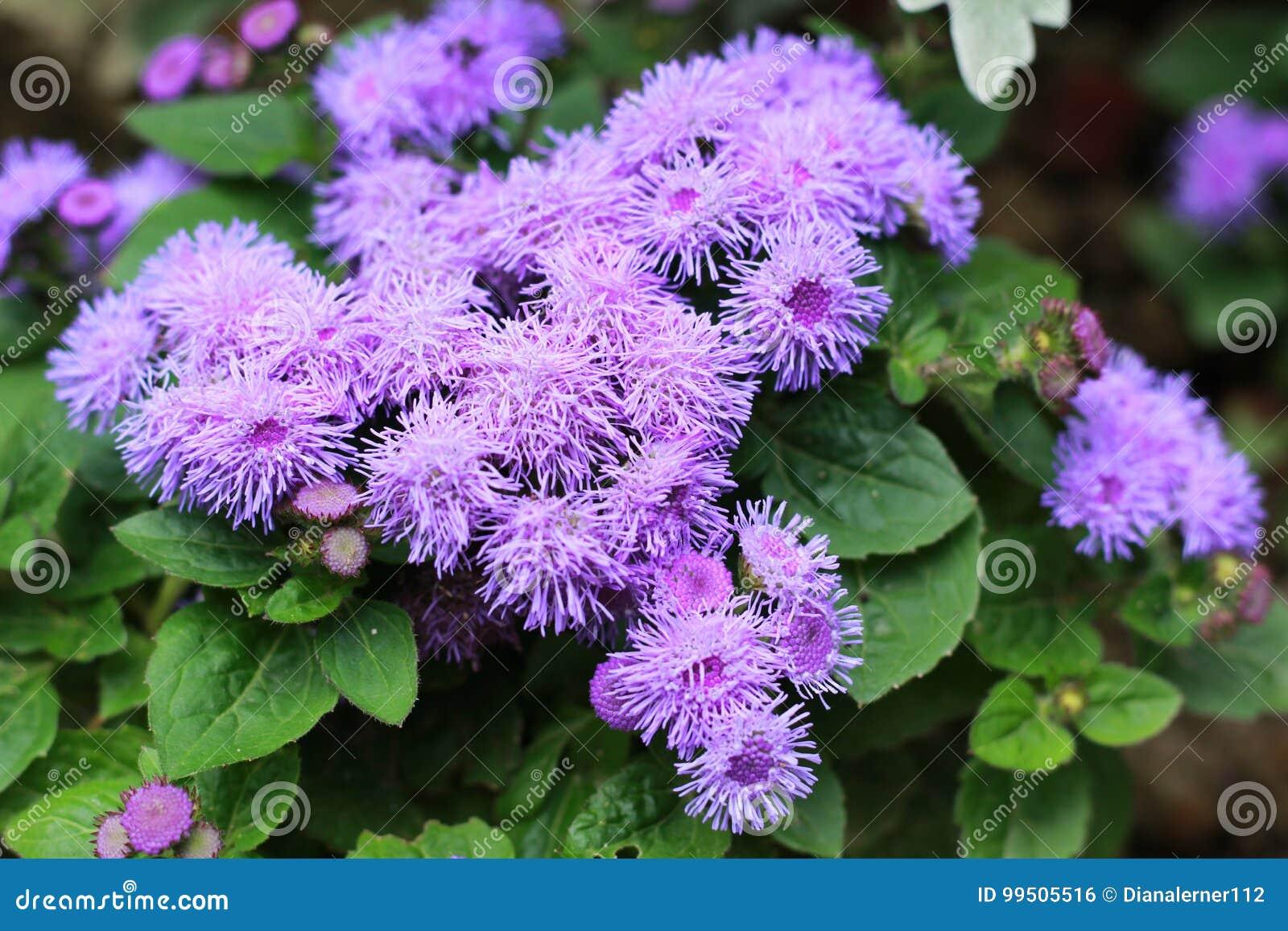 Violette ageratum