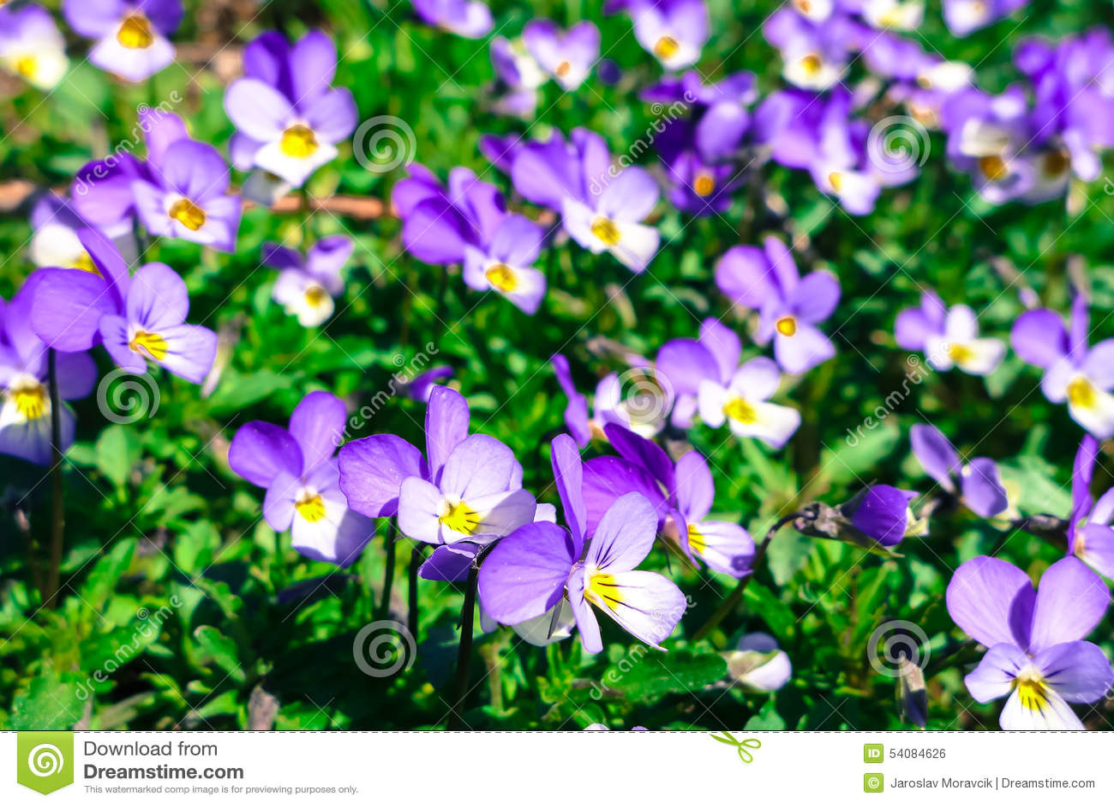 Violette bloem