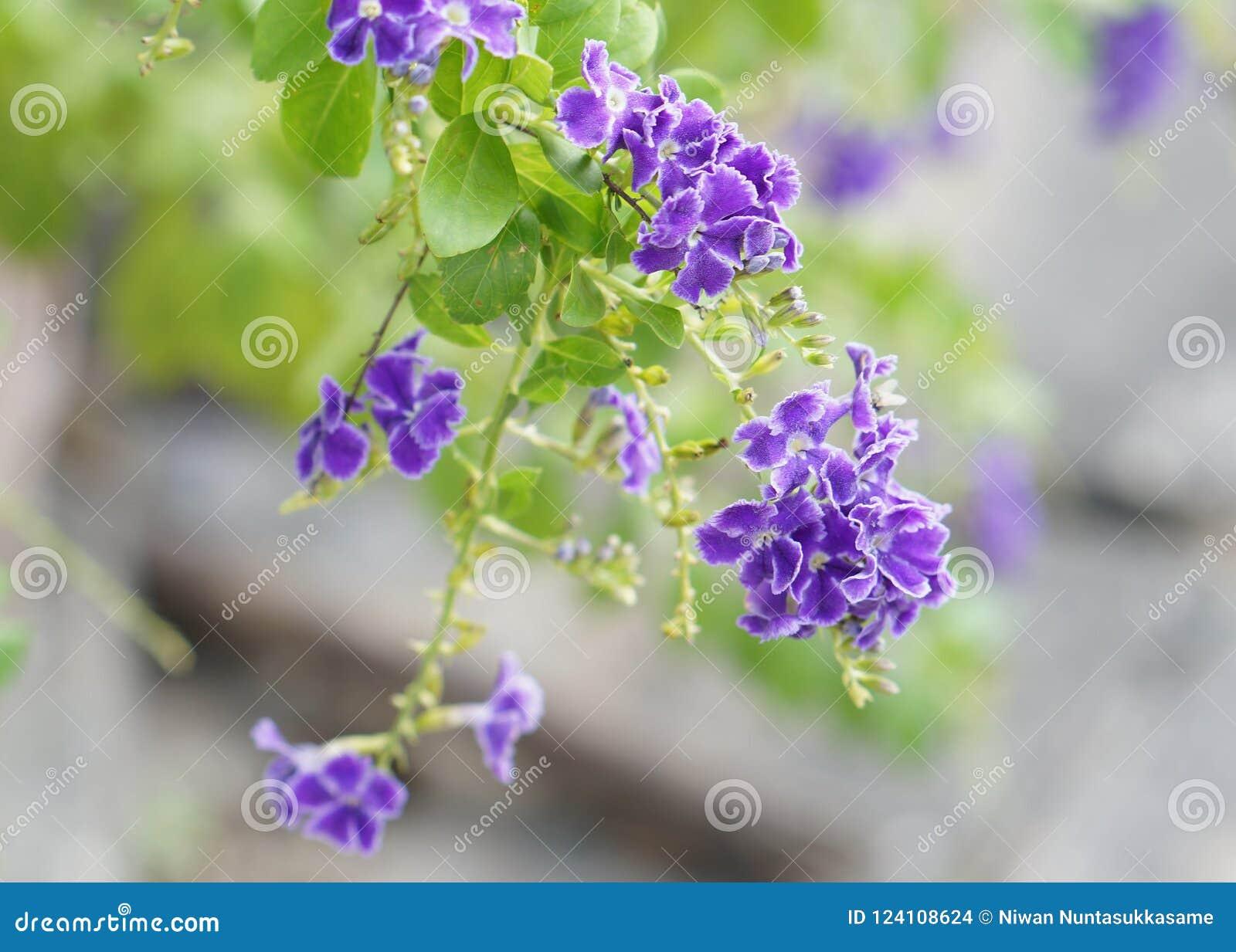 Violette Blume, goldener Tau-Tropfen, Duranta-erecta auf Naturhintergrund