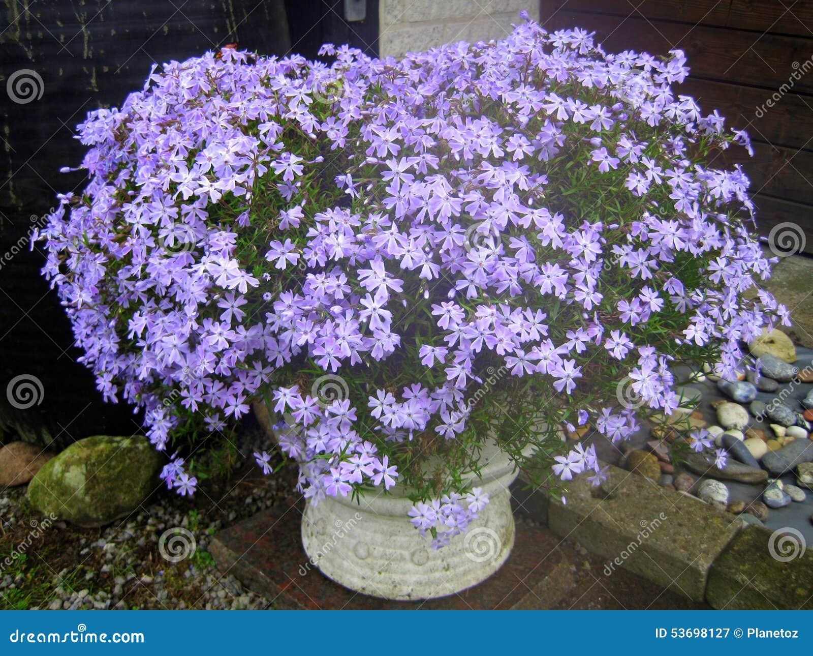 violette blumen garten ideen stockfoto bild 53698127
