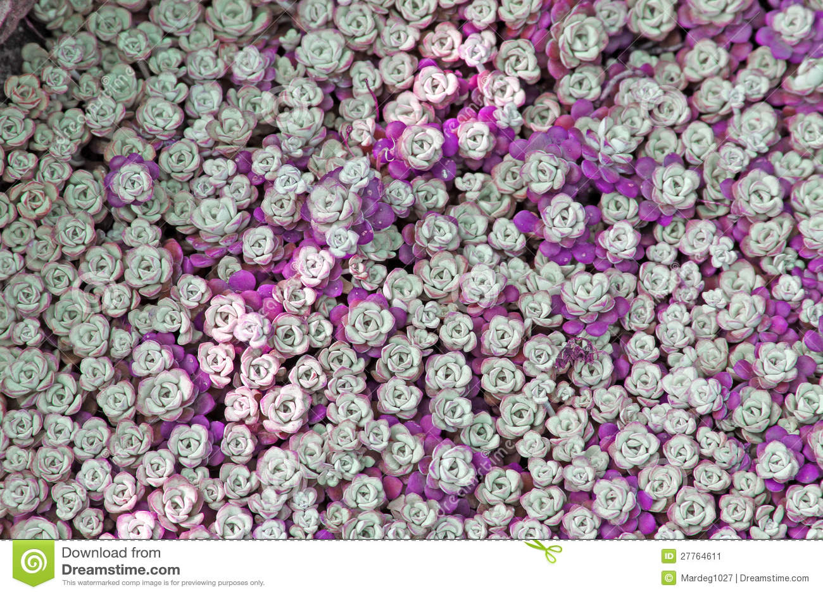 Violette d orpin