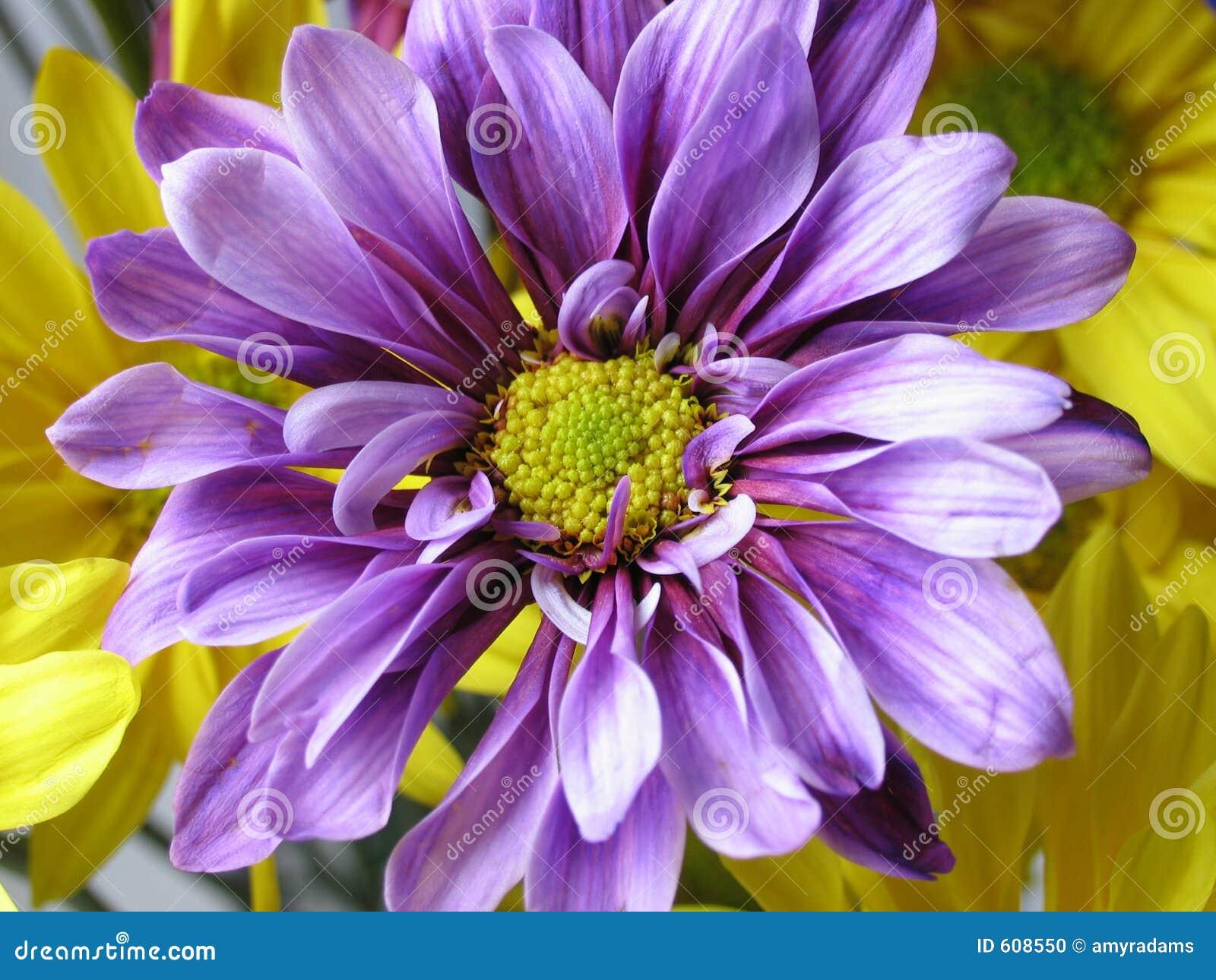 Violette Daisy