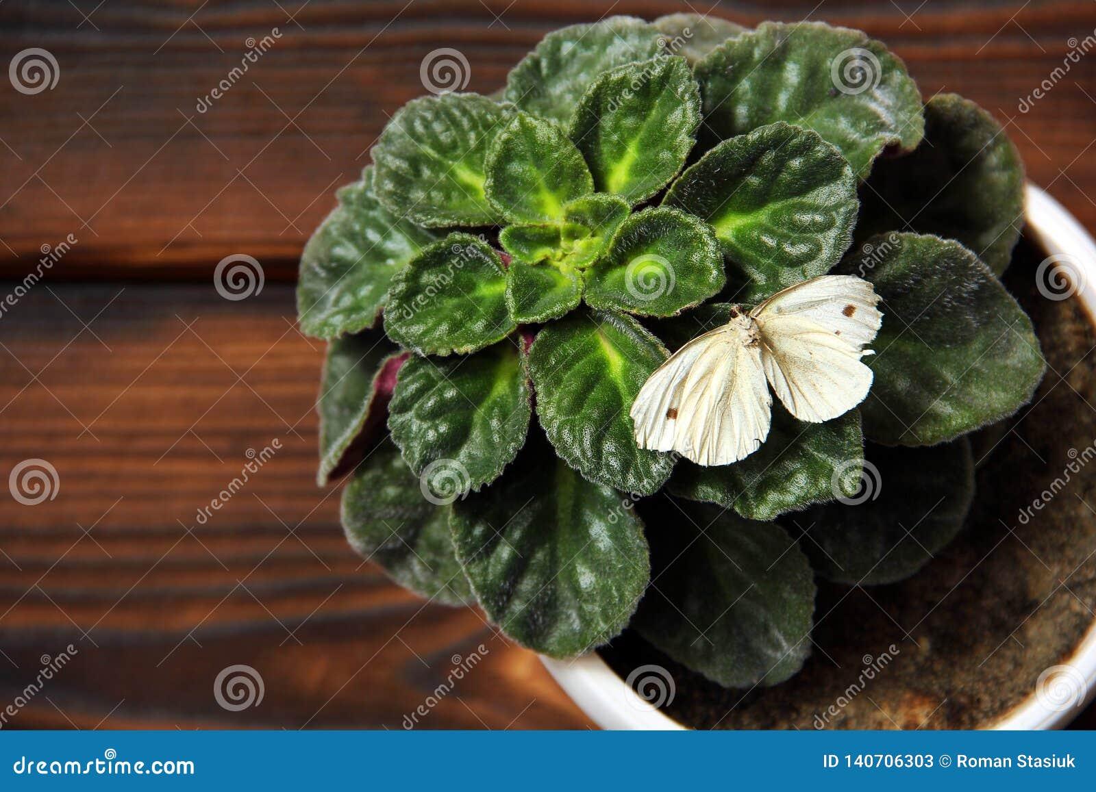 Violette dans un pot Le papillon se repose sur une usine