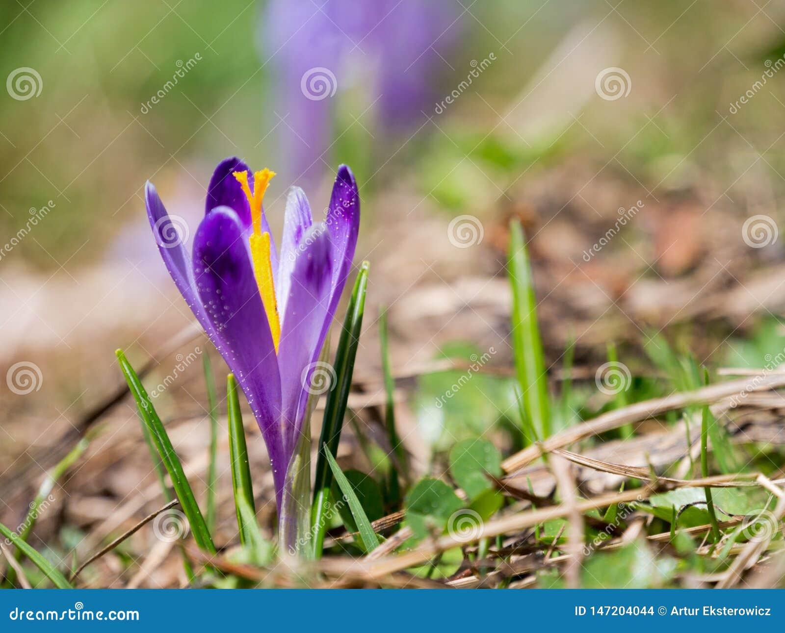 Violette kleine krokus op een bergopen plek