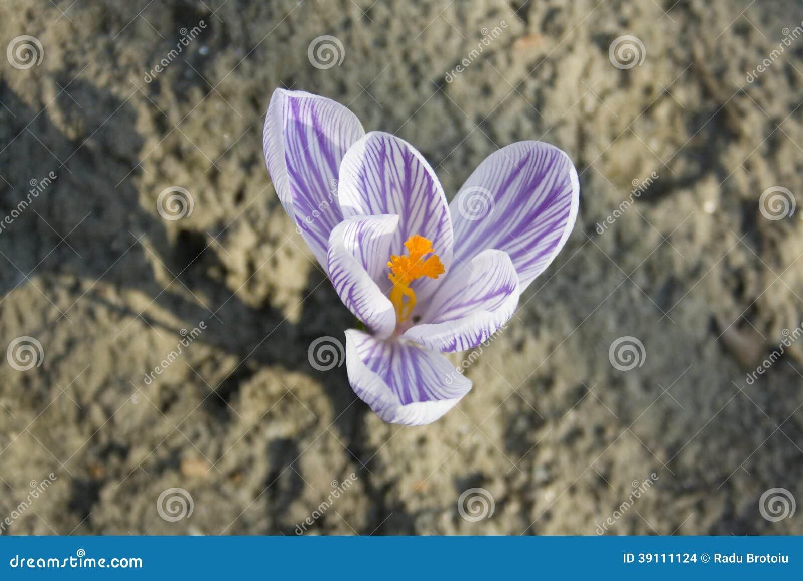 Violette krokus