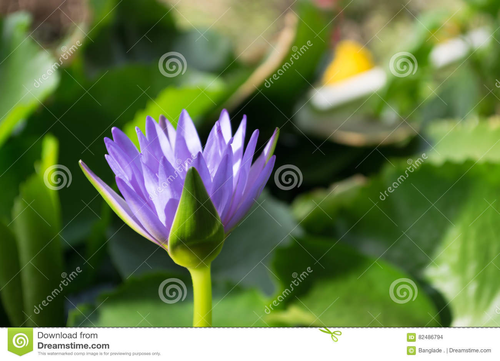 Violette Lotosblume im Wasserteich mit Grat backgroung, Thailand