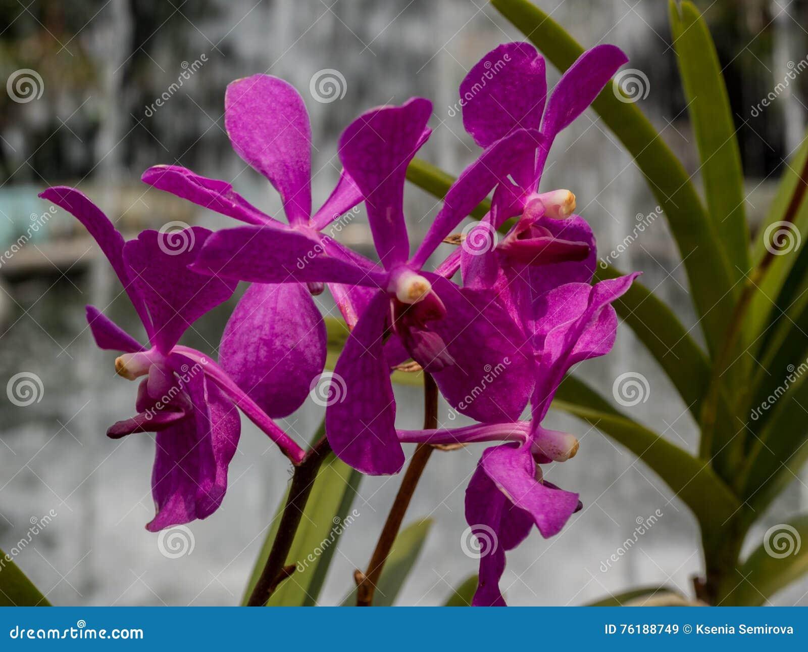 Violette Orchidee draußen, frische Blumen