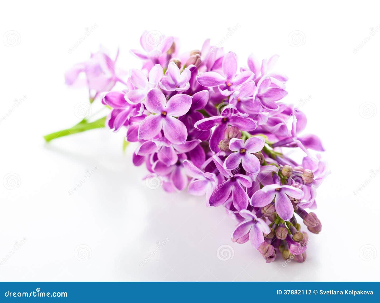 Violette sering