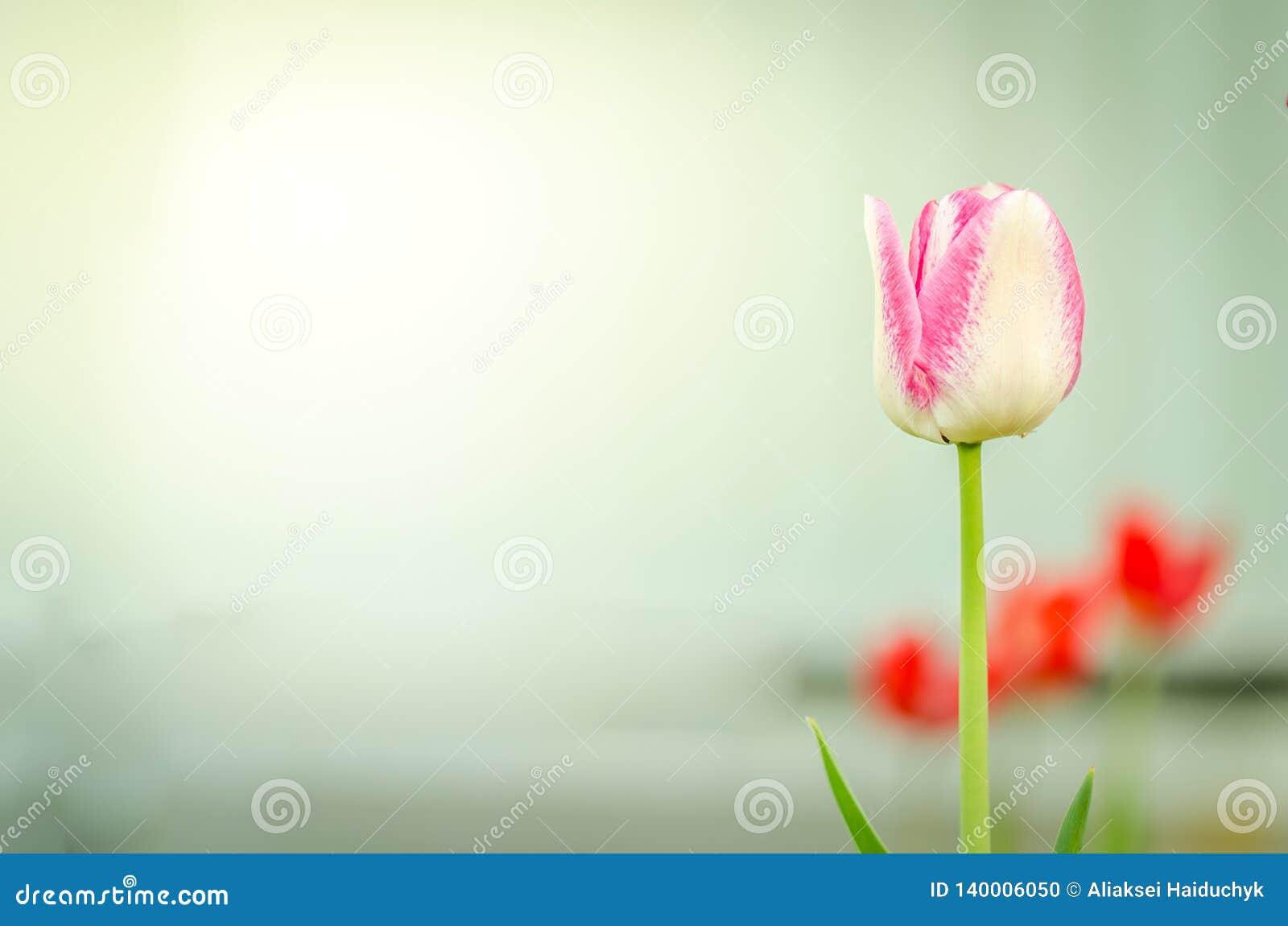 Violette Tulpe der Feldblumen Schöne Naturszene mit blühenden violetten Tulpe Frühlingsblumen Schöne Wiese Wiese voll des gelben
