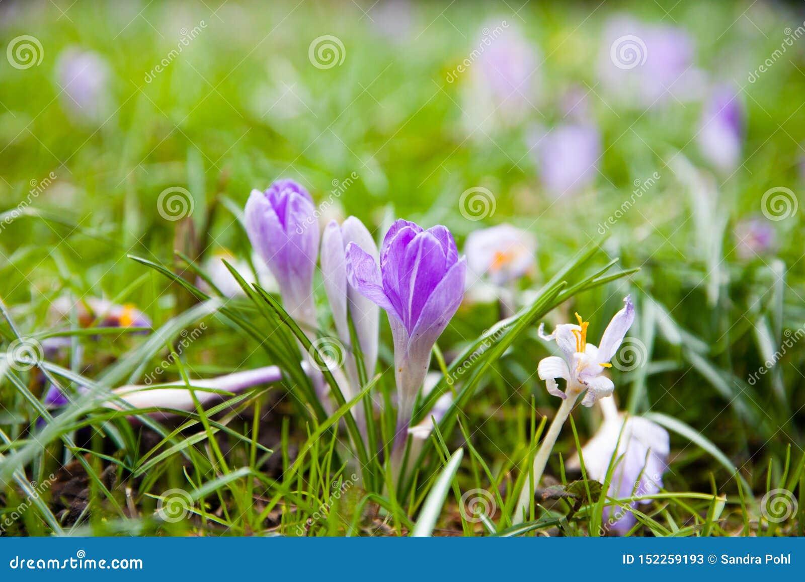 Violetter Krokus auf einer grünen Wiese