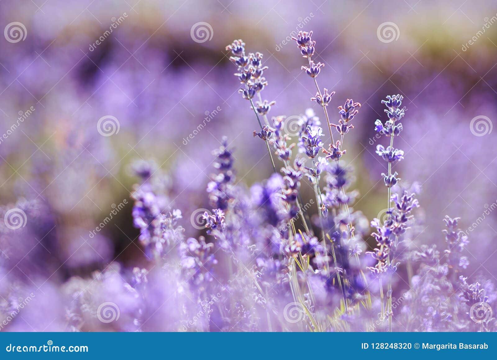 Violettes Lavendelfeld am weichen Lichteffekt