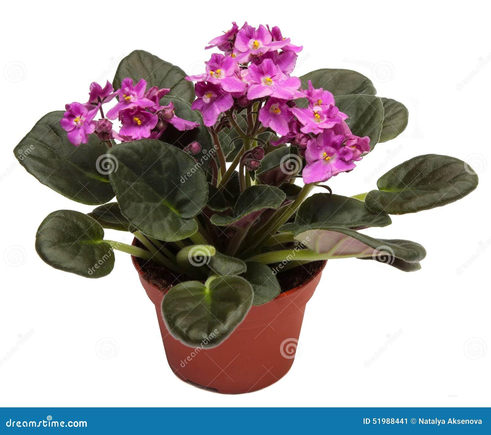Violettes usine d intérieur à la maison dans le pot de fleurs d isolement