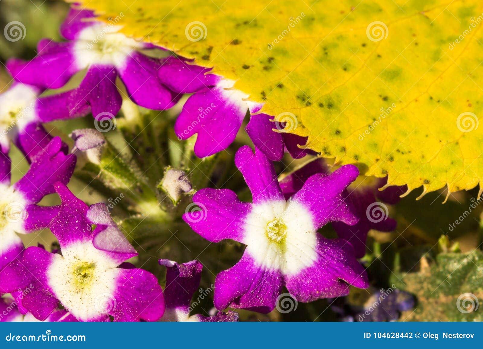Download Viooltjes En De Herfst Geel Blad Op Een Heldere Dag Stock Foto - Afbeelding bestaande uit milieu, blad: 104628442