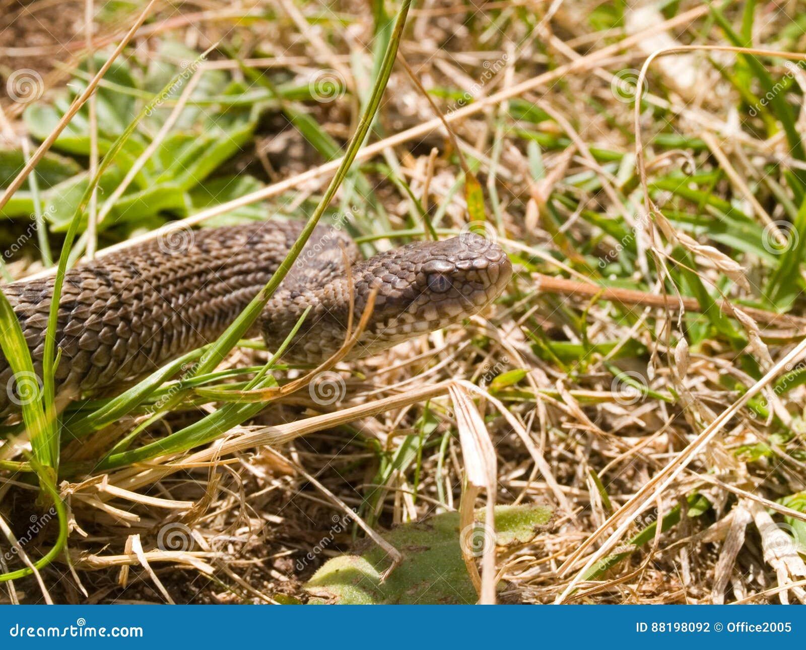 Vipera ursinii macrops stock photo  Image of snakes, meadow