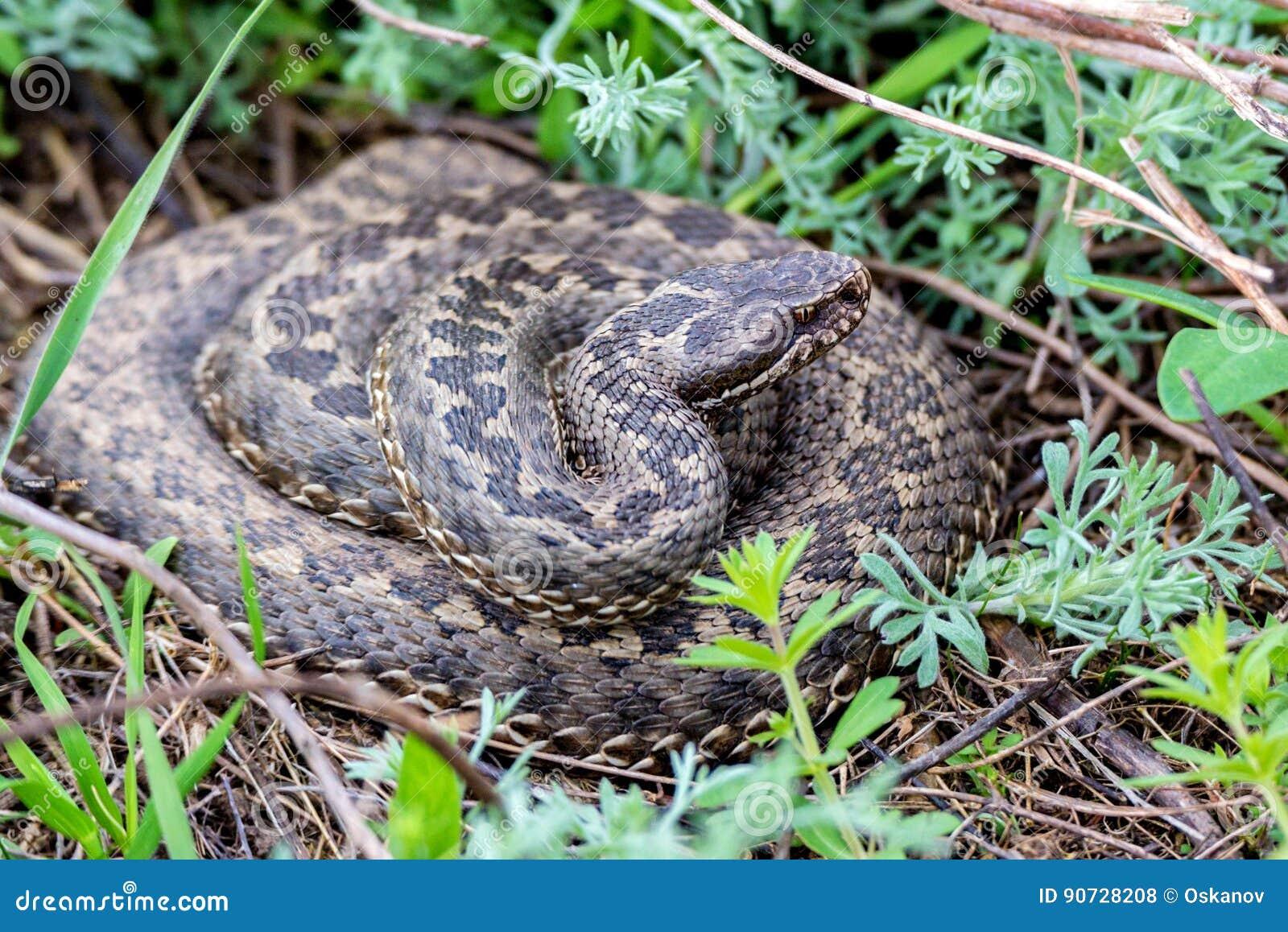 Vipera Ursinii Or Meadow Viper Stock Photo - Image of
