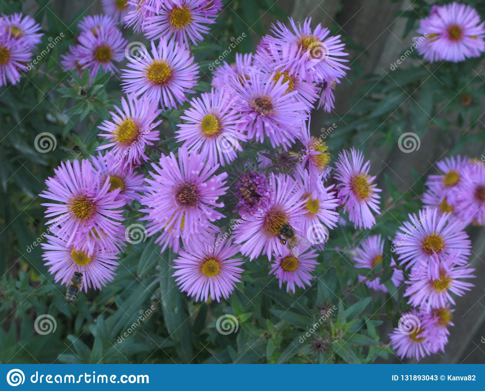 Virgin pink asters stock image. Image of bushes, flowerbed ...