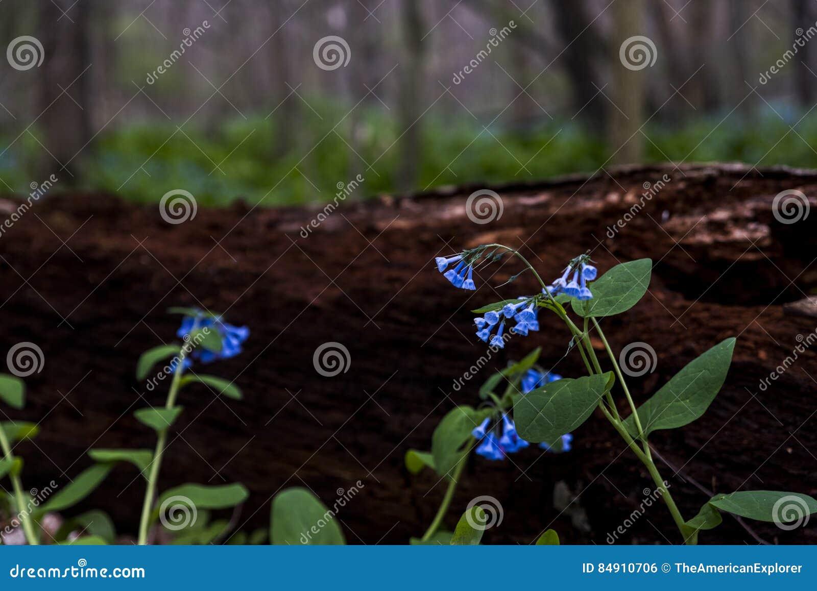 Virginia Bluebell Wildflowers - Ohio
