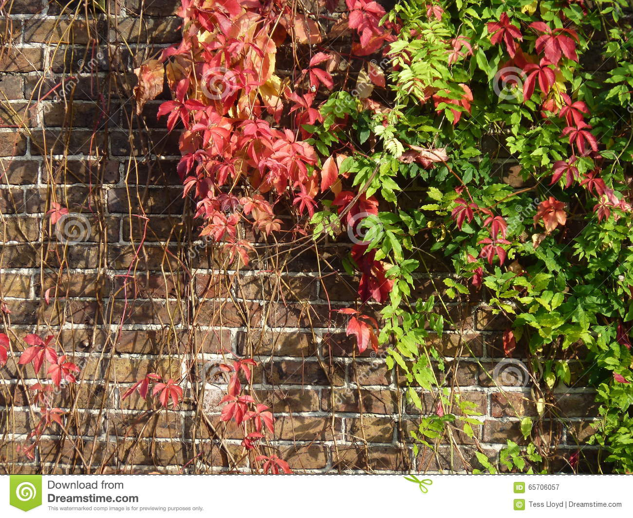 Virginia Creeper Red And Green In The Autumn Stock Image