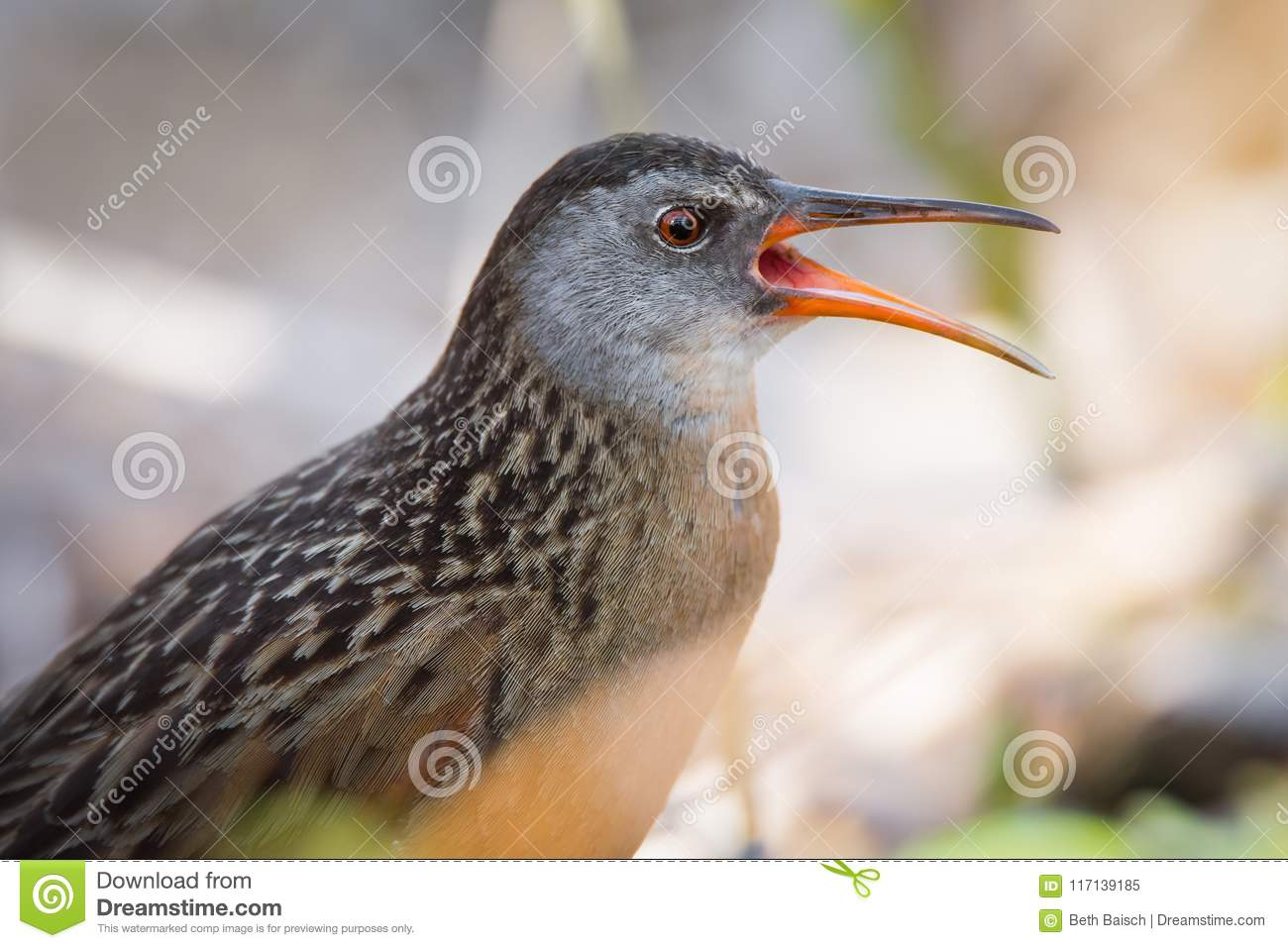 Virginia Rail Waterbird Calling To Mate Stock Image - Image of bird