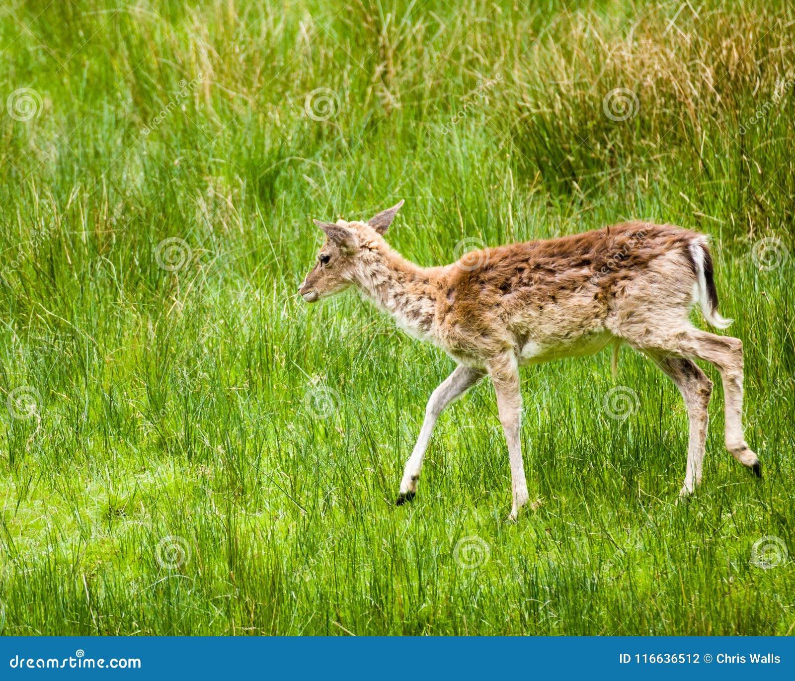 Virginianus Blanco-atado del odocoileus de los ciervos