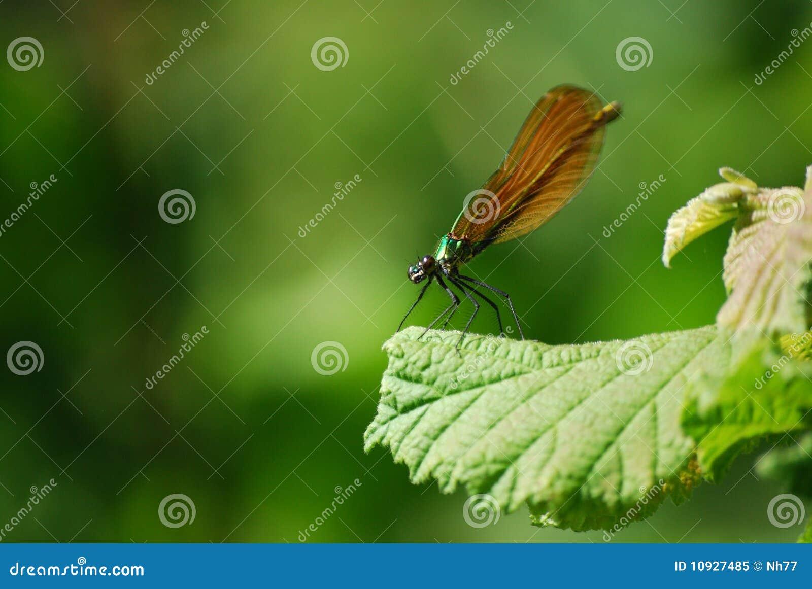 Virgo dragonfly calopteryx женский зеленый