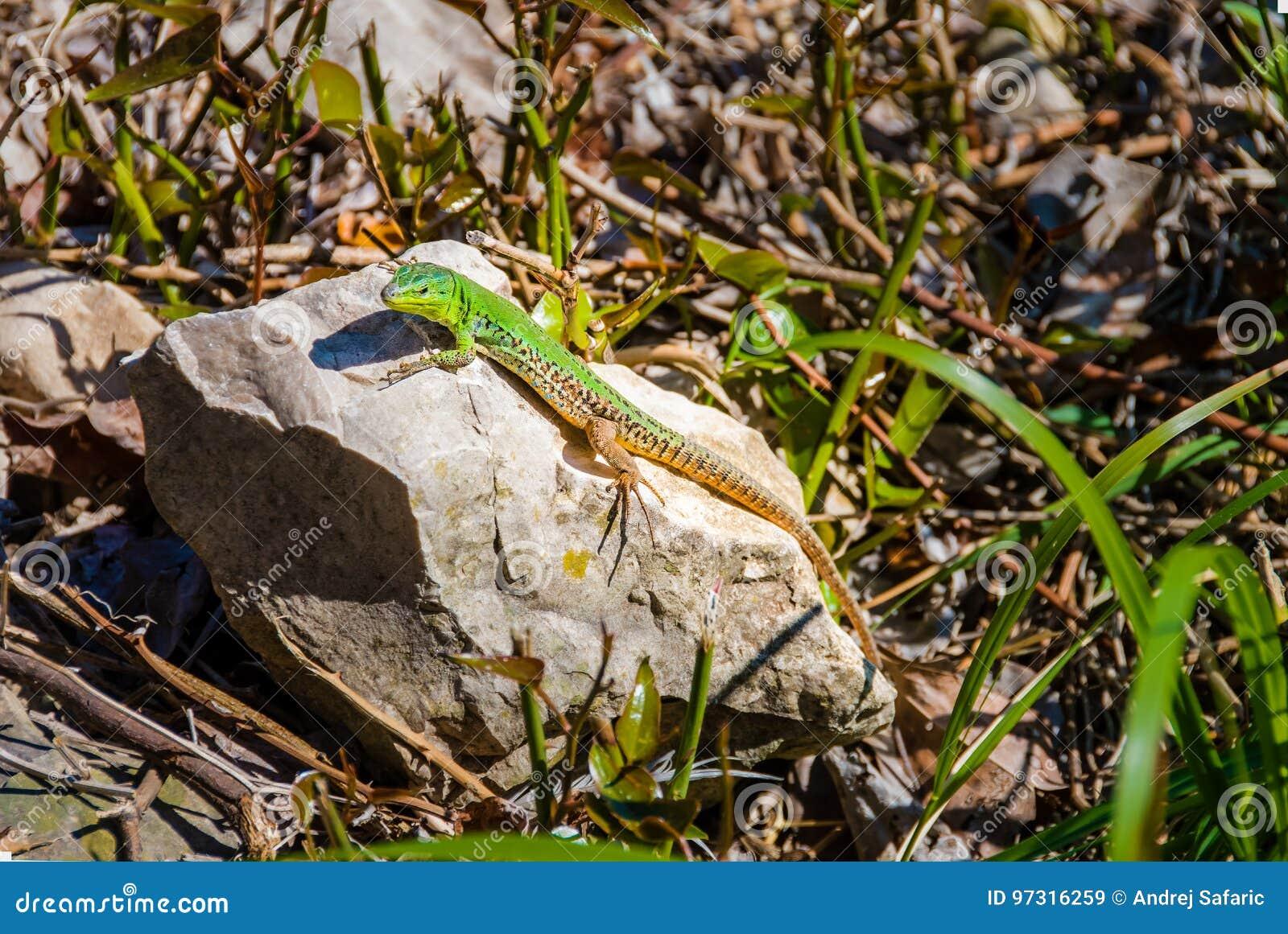 Viridis européens masculins de lacerta de lézard vert sur une roche