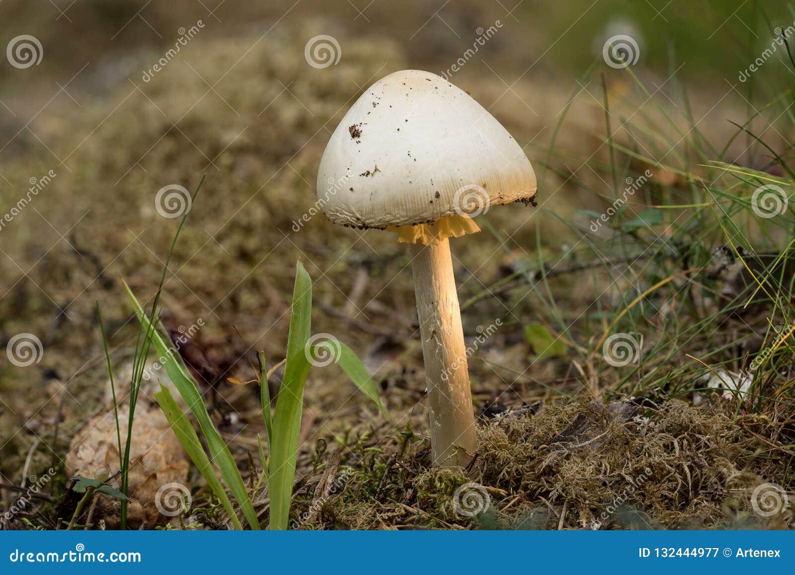 que es un hongo basidiomiceto