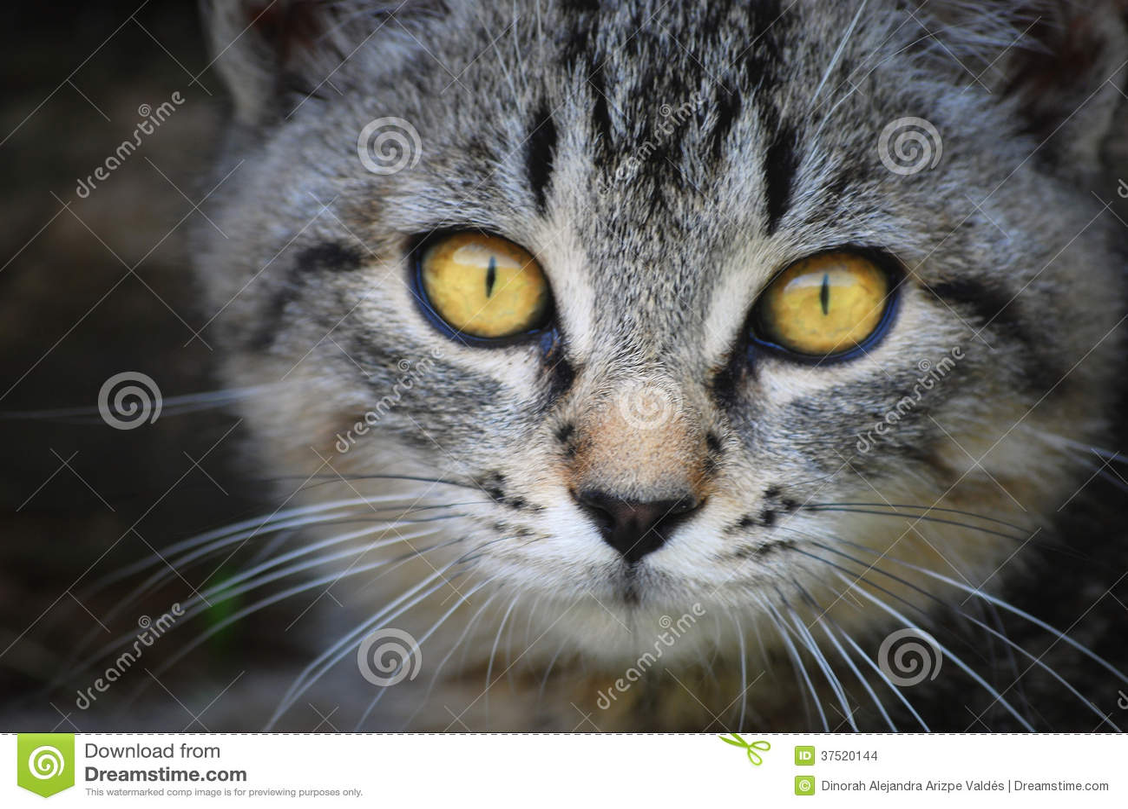 visage de chat avec les yeux jaunes photo stock image 37520144. Black Bedroom Furniture Sets. Home Design Ideas