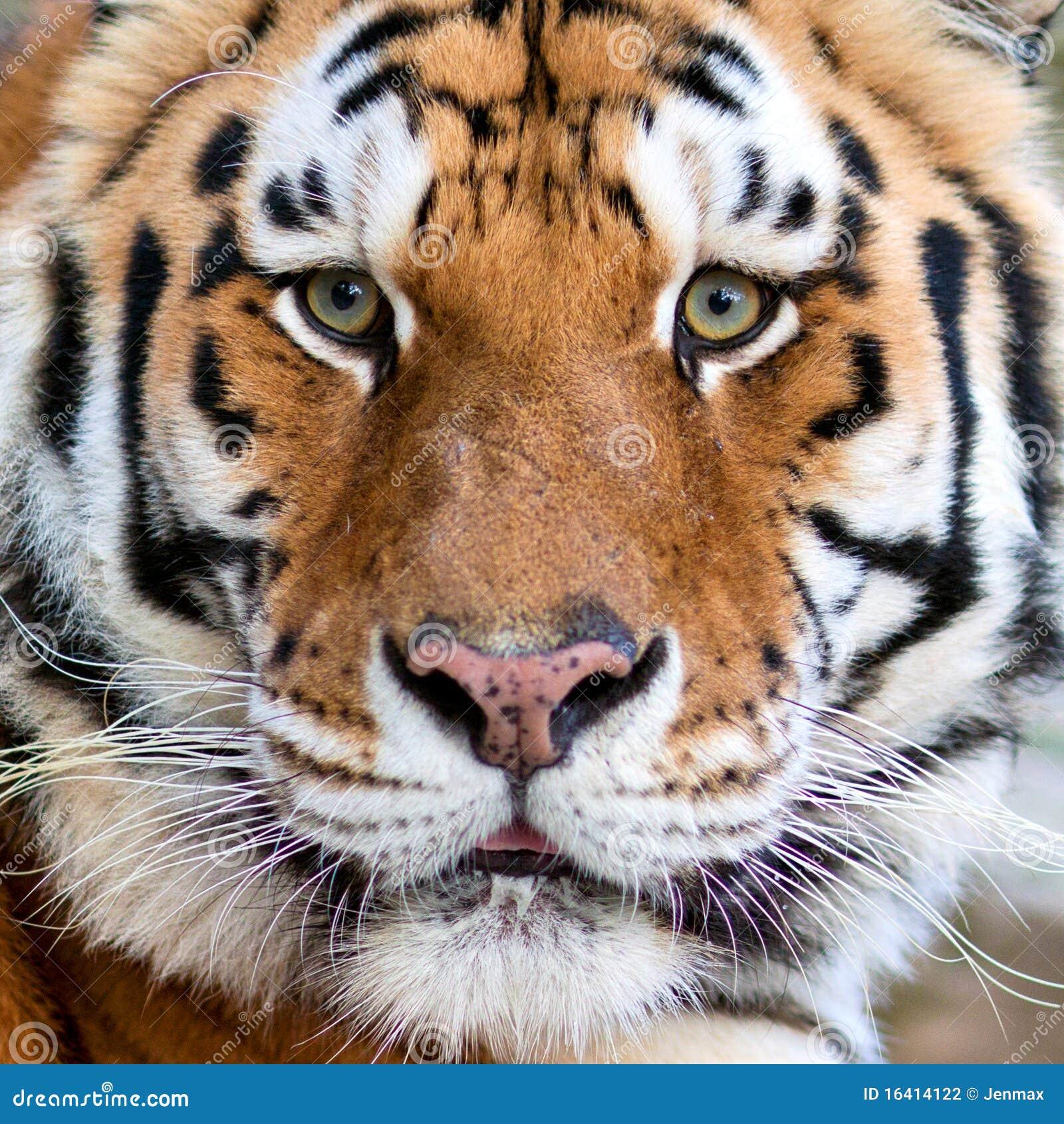 Visage de tigres photo stock image du beaut grand - Images tigres gratuites ...