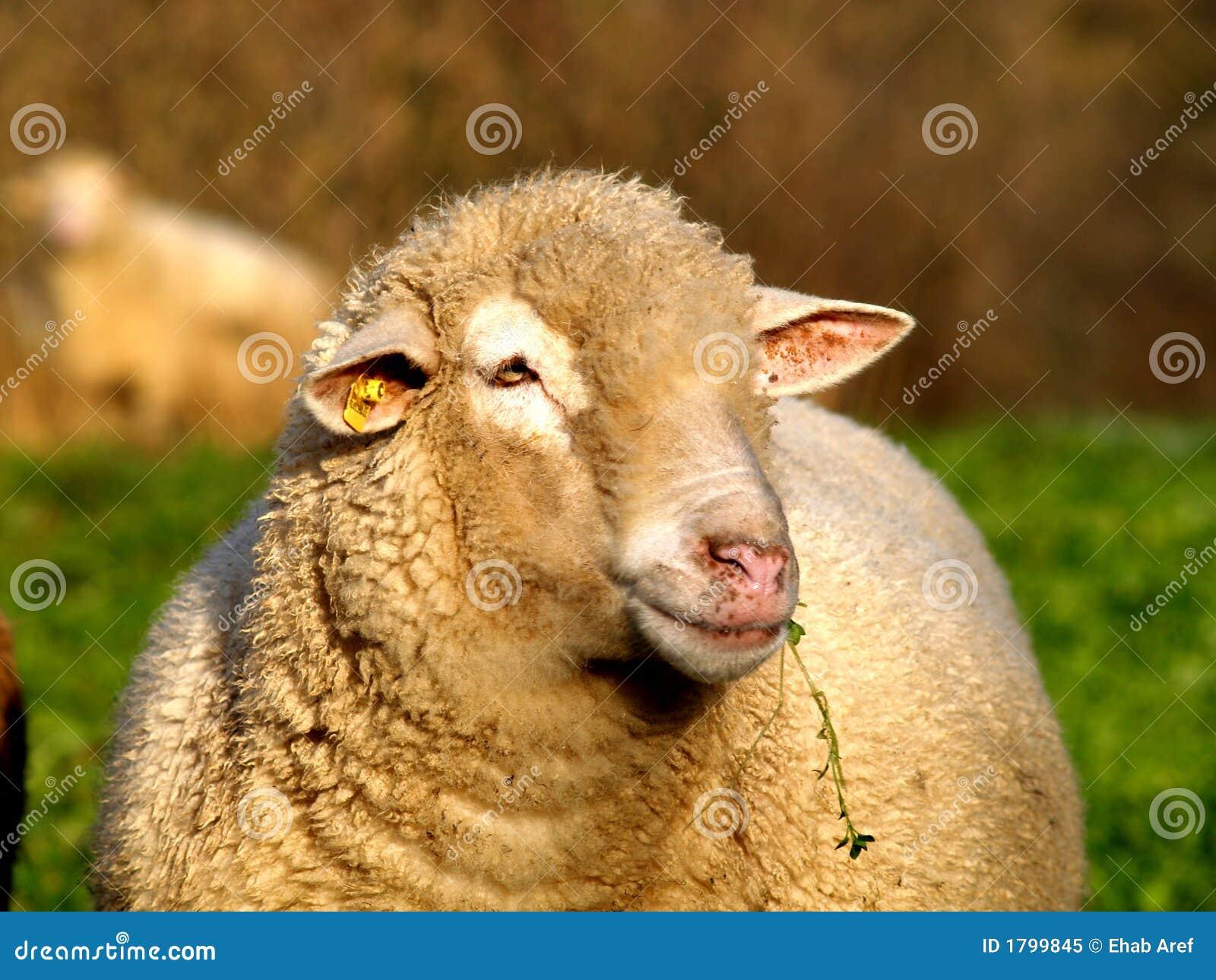 Visage mâle de moutons