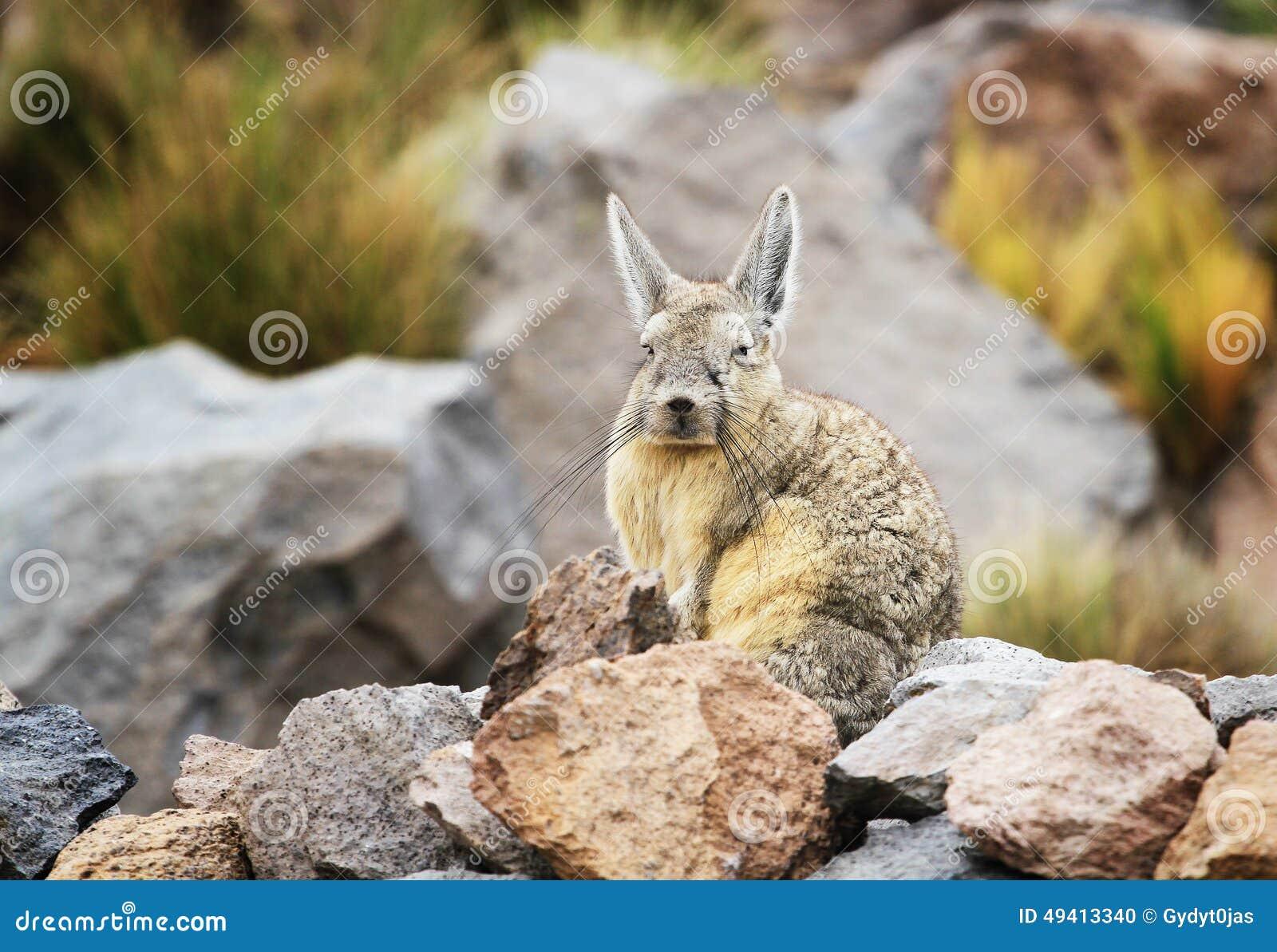 Download Viscacha stockfoto. Bild von altiplano, senke, säugetiere - 49413340
