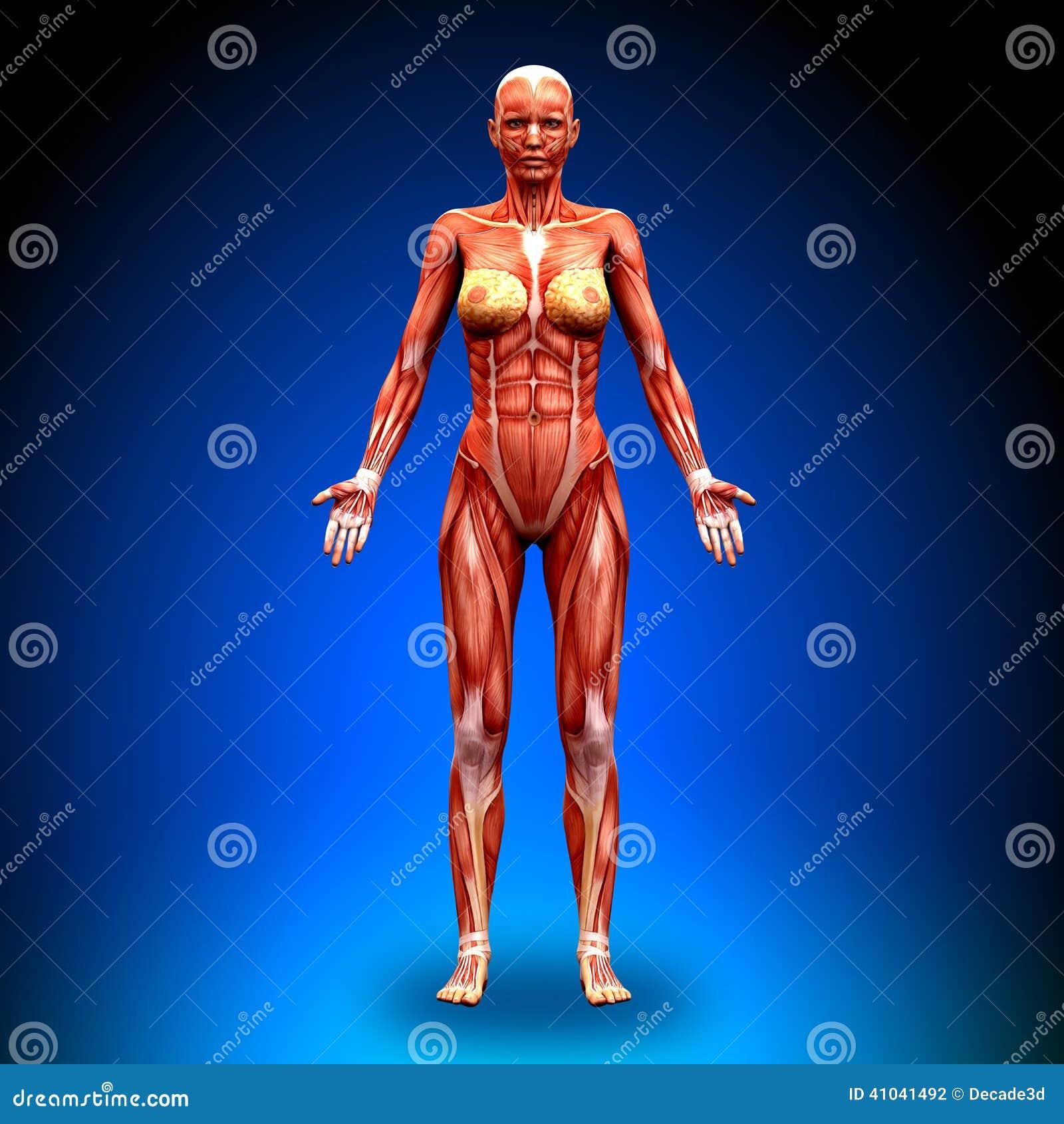 Visión Anterior - Músculos Femeninos De La Anatomía Stock de ...