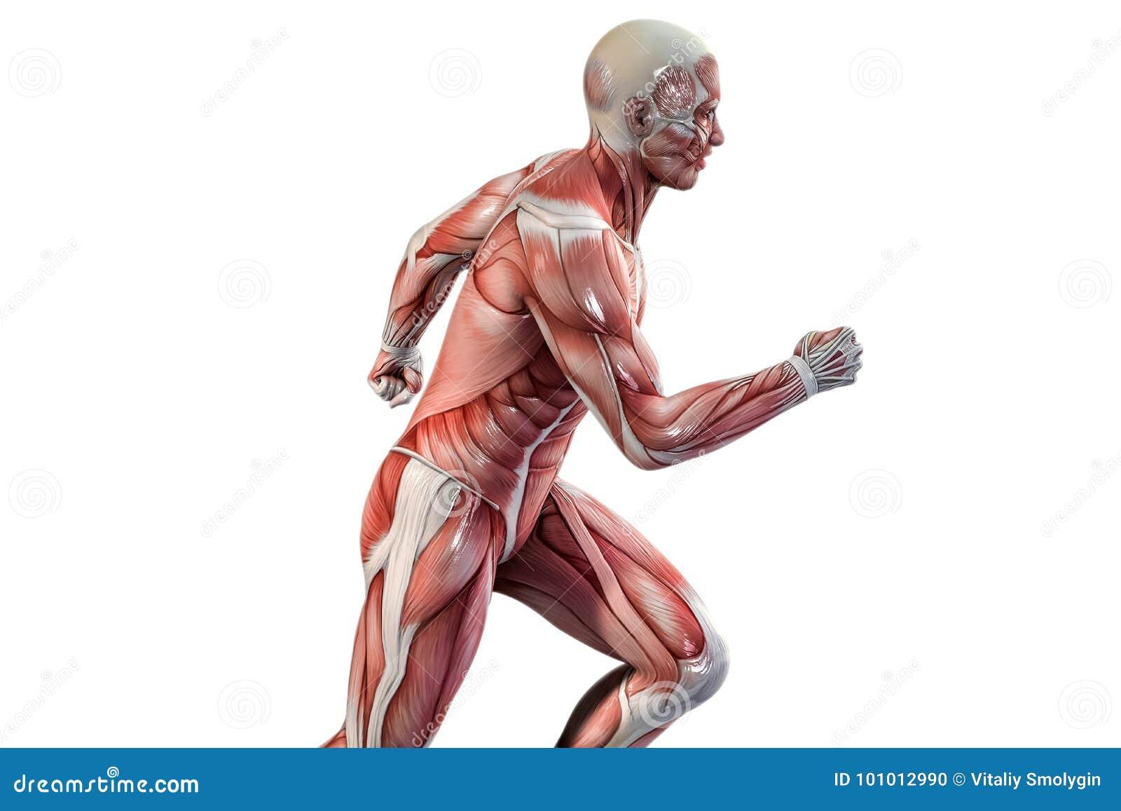 Visión Corriente De La Anatomía Del Hombre Stock de ilustración ...