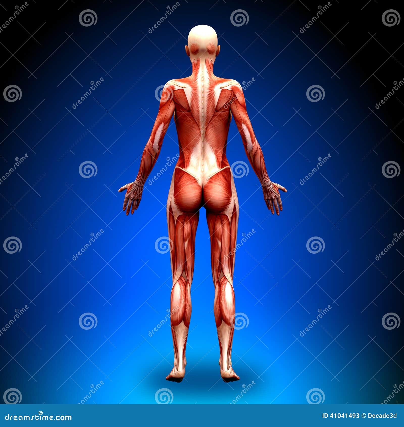 Visión Posterior - Músculos Femeninos De La Anatomía Stock de ...