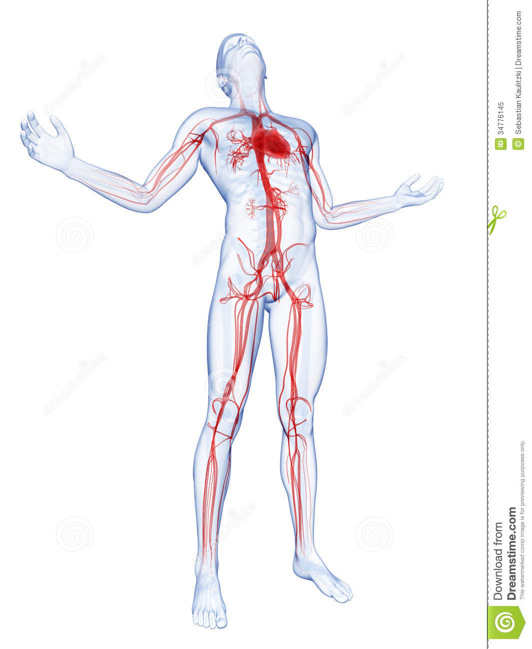 Royalty Free Stock Photo Visible Vascular System D Rendered Illustration Male Posing Image34776145 on brain arterial system