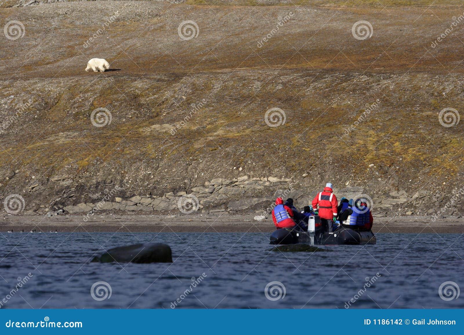Visionnement d un ours blanc