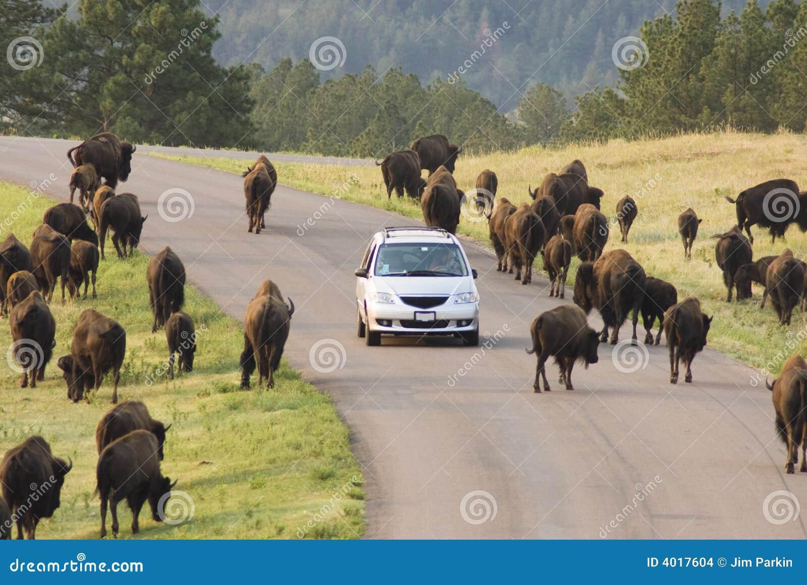 Visning för 7 buffel