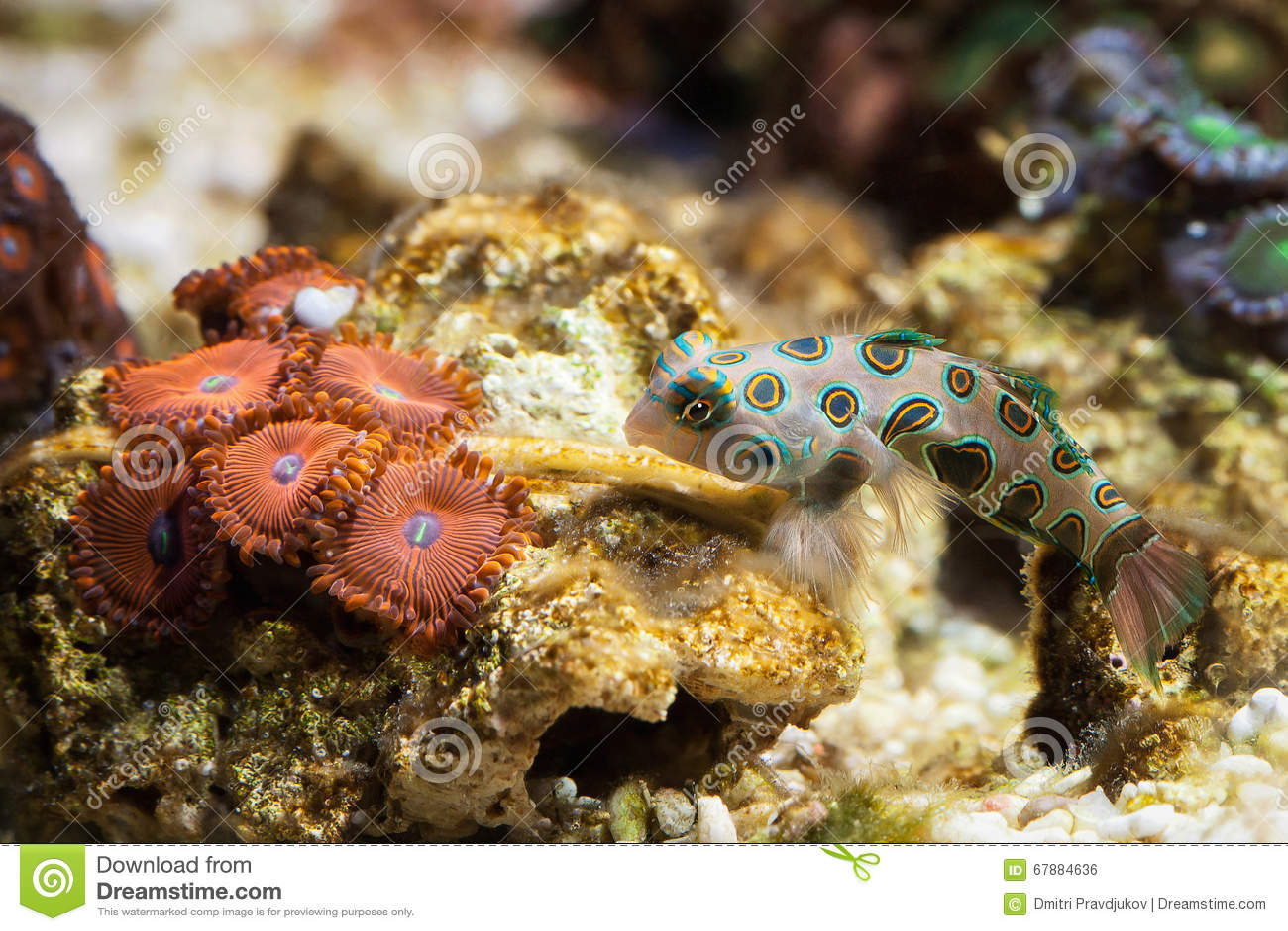 Vissen Dragonet mandarinfish (Synchiropus-splendidus) zwemt over