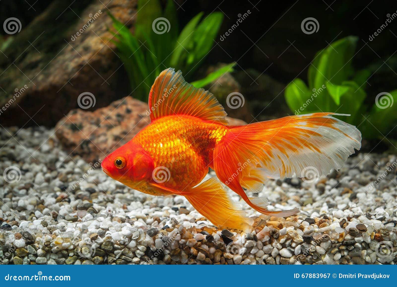 Vissen Goudvis In Aquarium Met Groene Installaties, En Stenen Stock Foto   Afbeelding  67883967