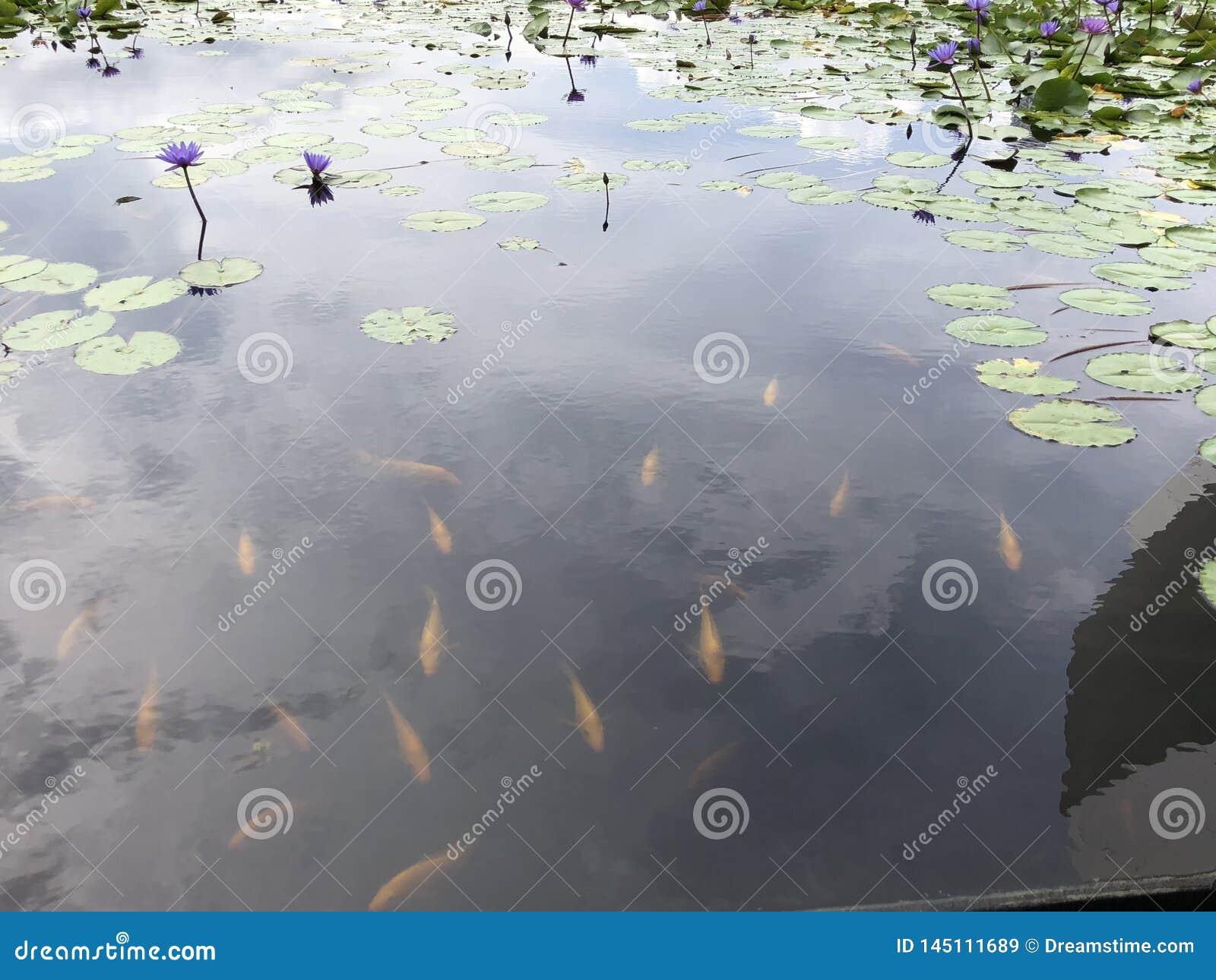 Vissen in lotusbloemvijver