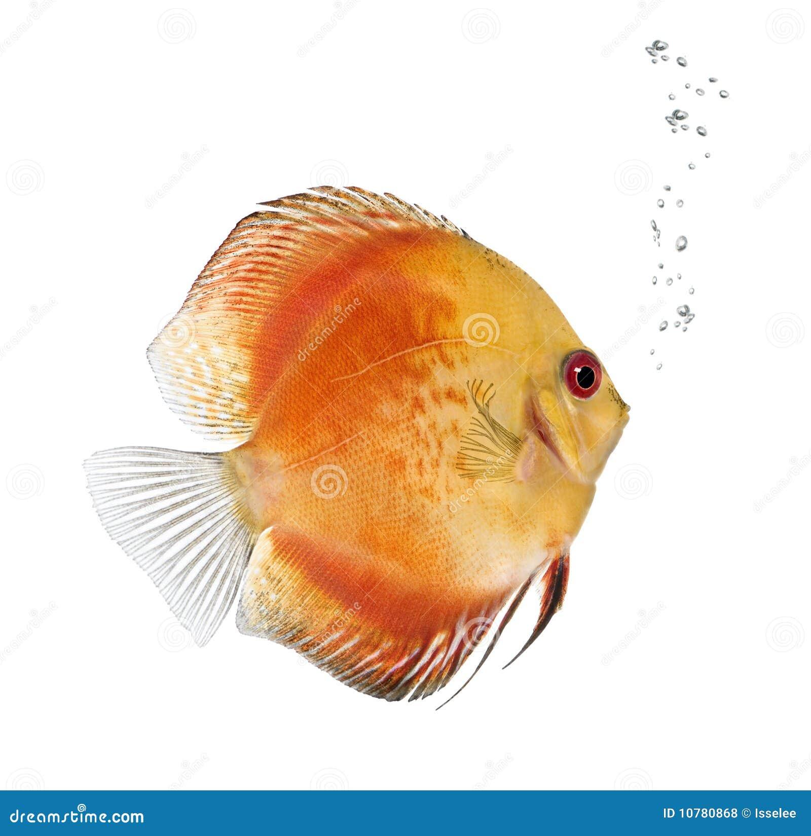 Vissen van de Discus van de brand de Rode, aequifasciatus Symphysodon