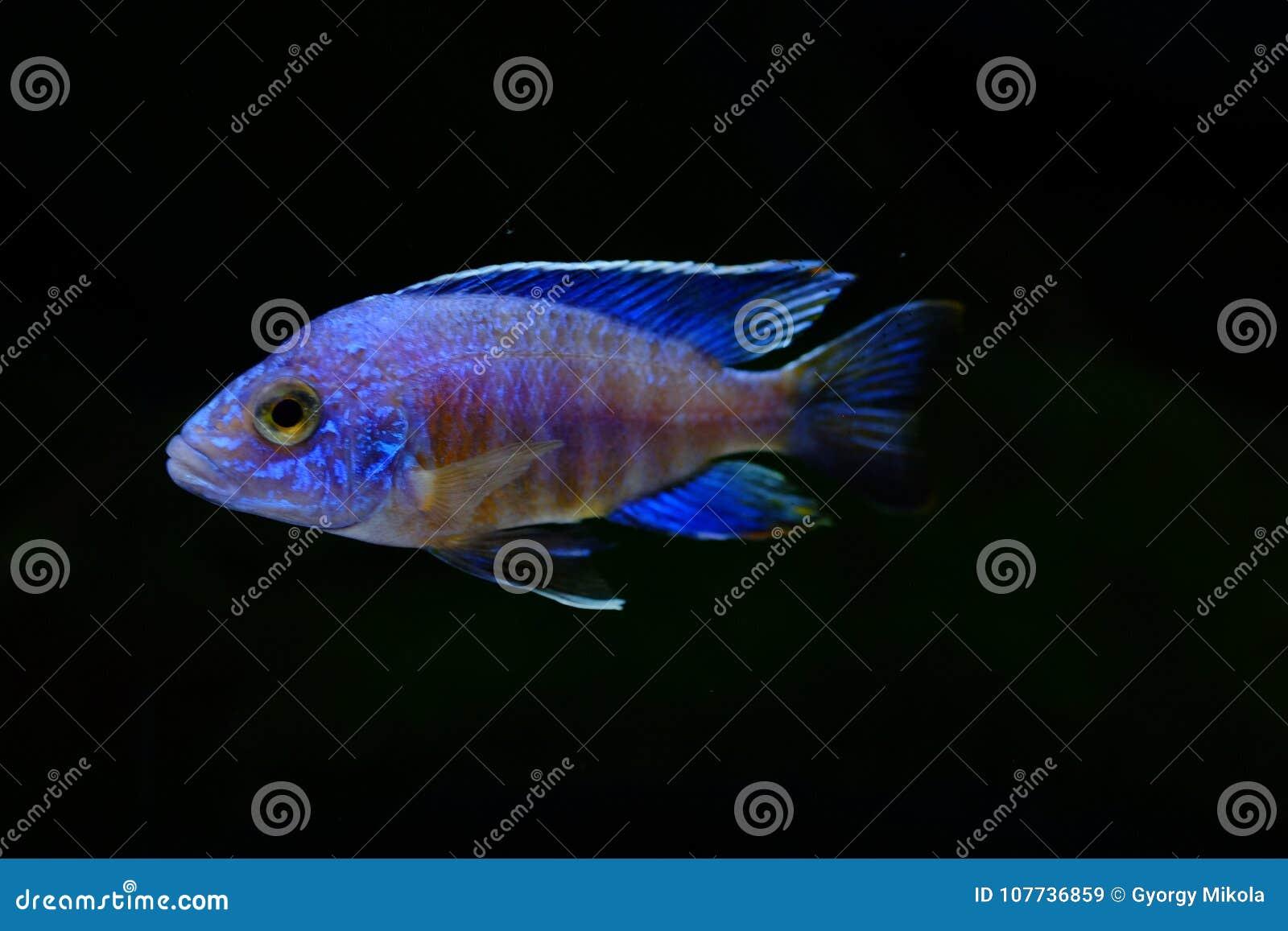 Vissen van het aulonocara de turkooise aquarium van Malawi cichlid
