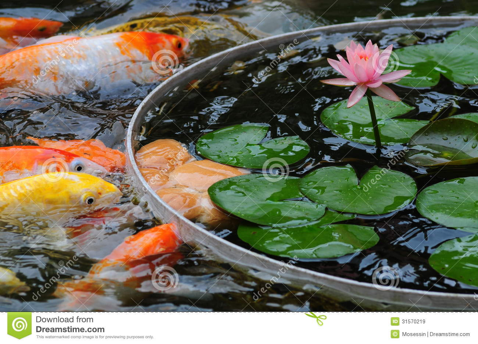 Vissen In Vijver : Vissen in vijver stock afbeelding afbeelding bestaande uit