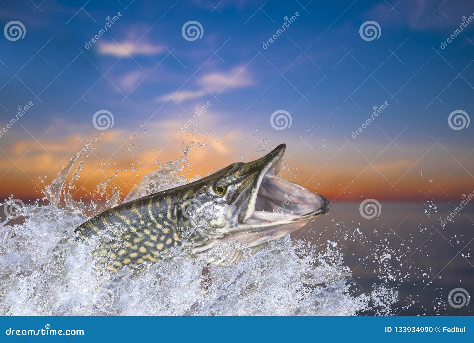 Visserij Grote snoekenvissen die met het bespatten in water springen