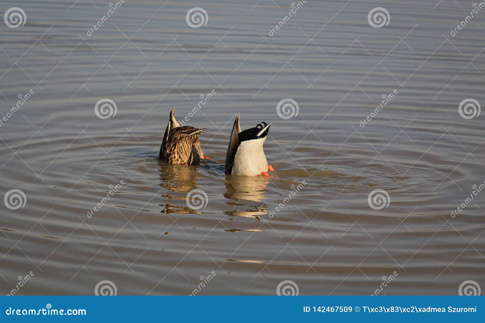 Visserijwilde eenden in de rivier