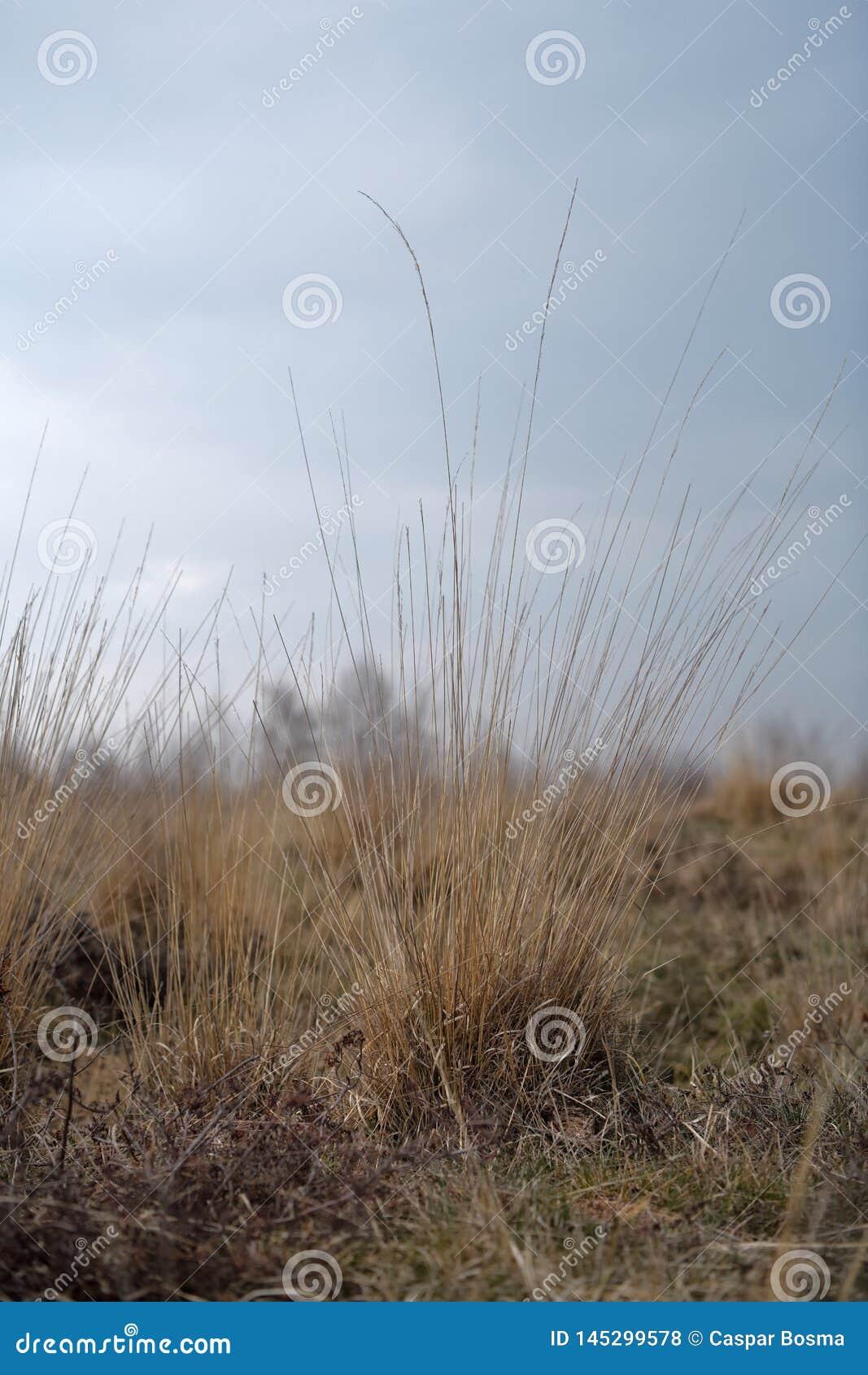 Visset sugrörgräs mot en grå himmel