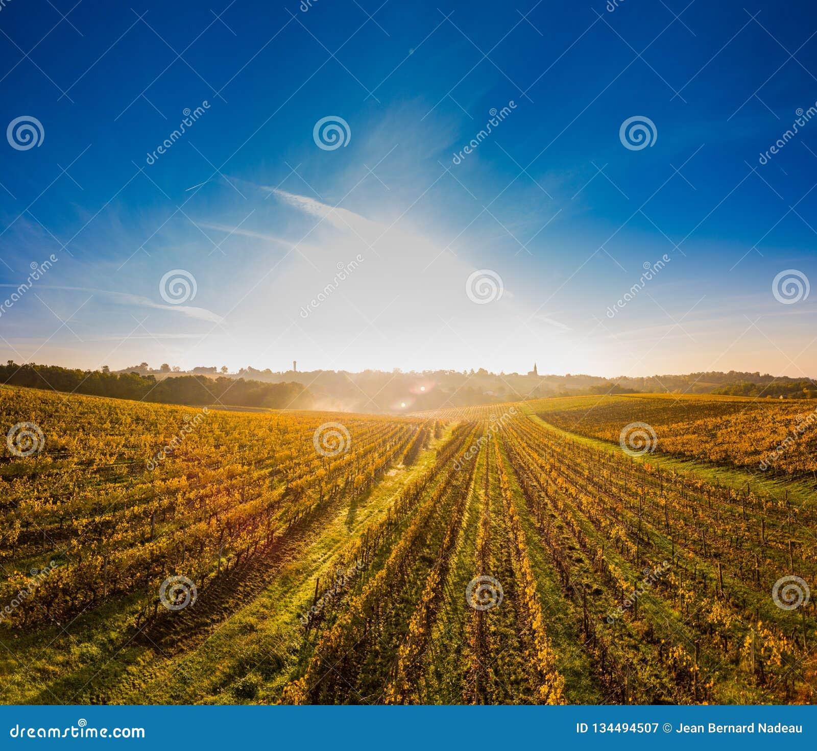 Vista aérea, nascer do sol do vinhedo no outono, vinhedo do Bordéus, França