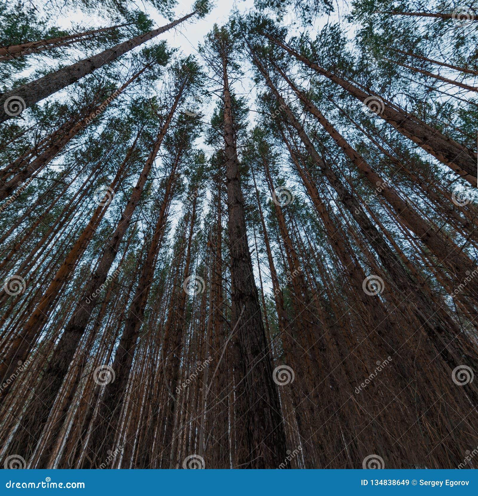Vista acima em partes superiores da árvore de floresta do pinho com as coroas ao dossel Fundo largo do ângulo da vista inferior