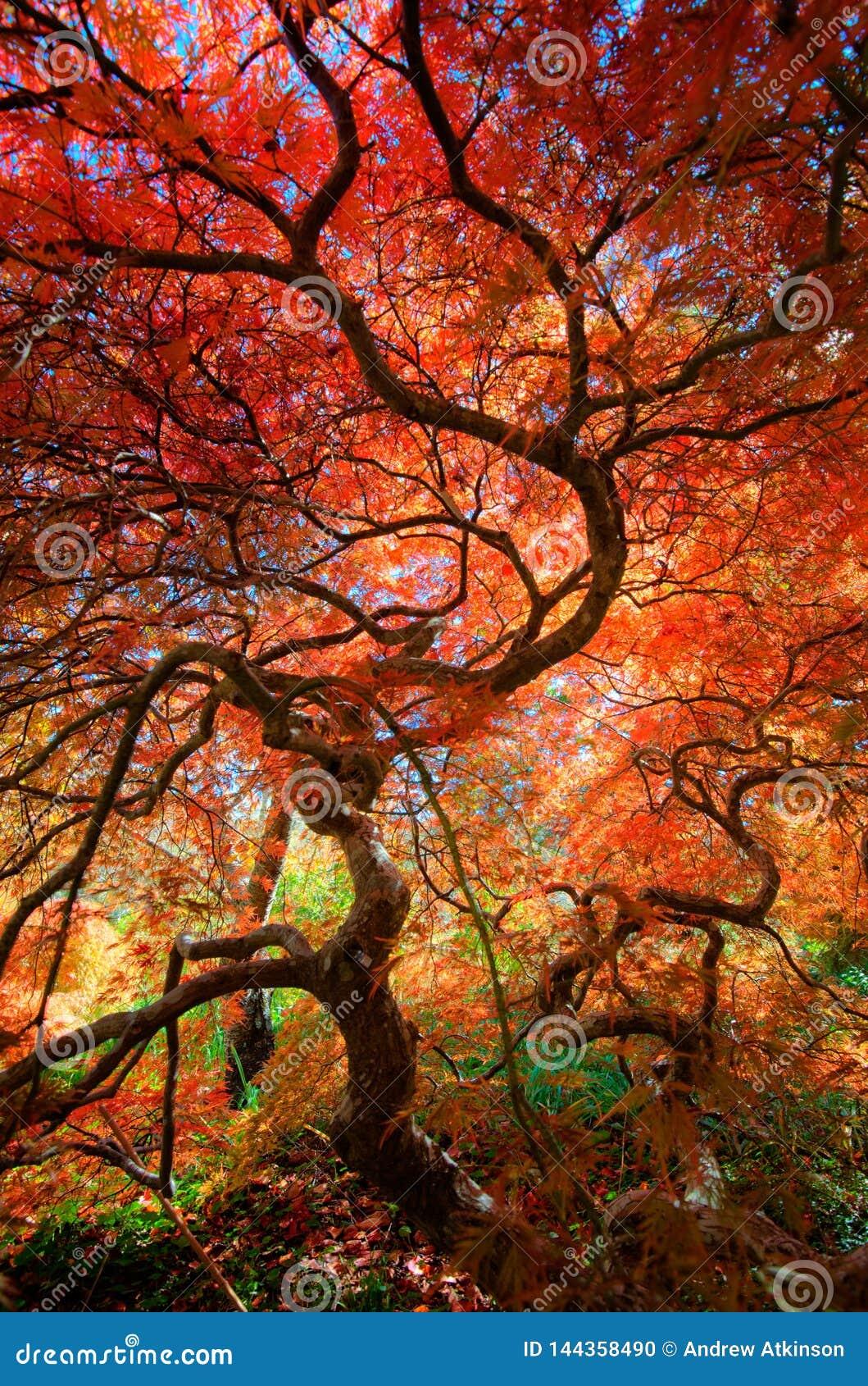 Vista acima sob o dossel de uma árvore de bordo japonês bonita com as folhas vermelhas e alaranjadas