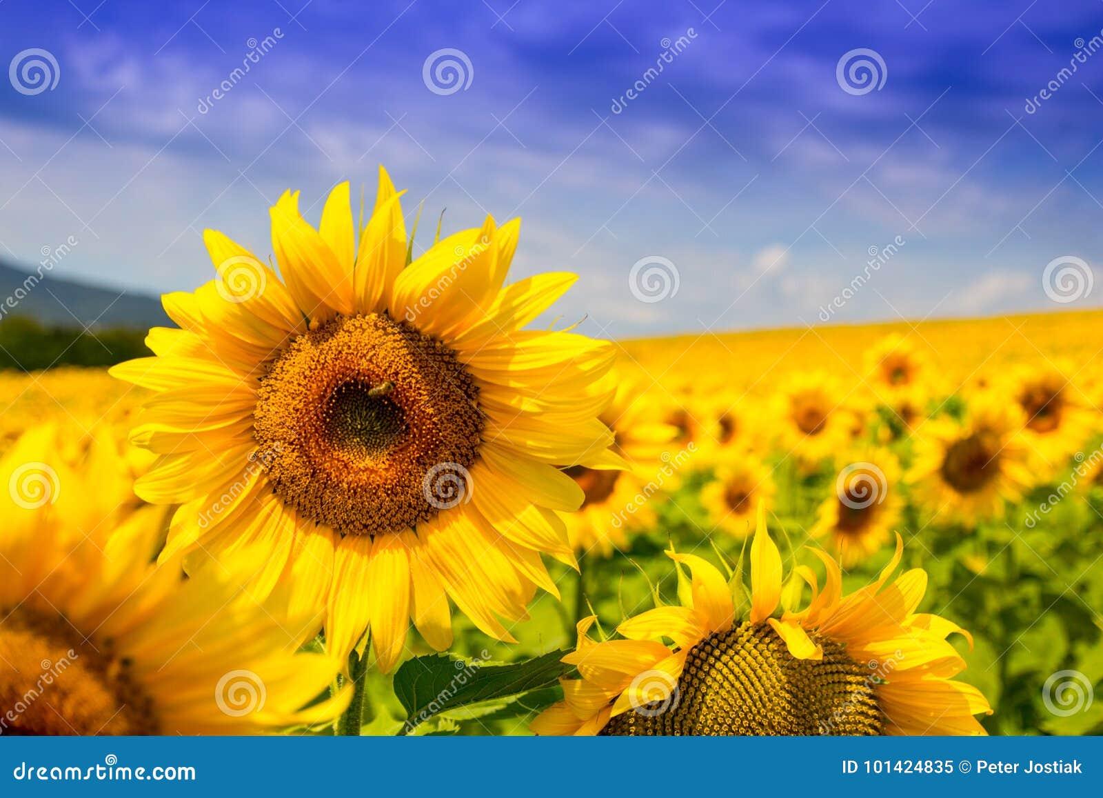 Vista agradable de girasoles amarillos, paisaje de la naturaleza del verano